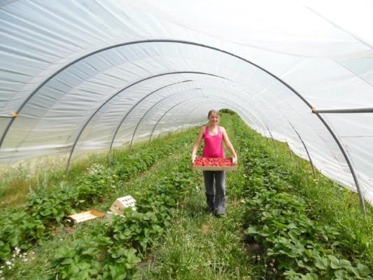 fraises ardeche biologique ferme du chaleat